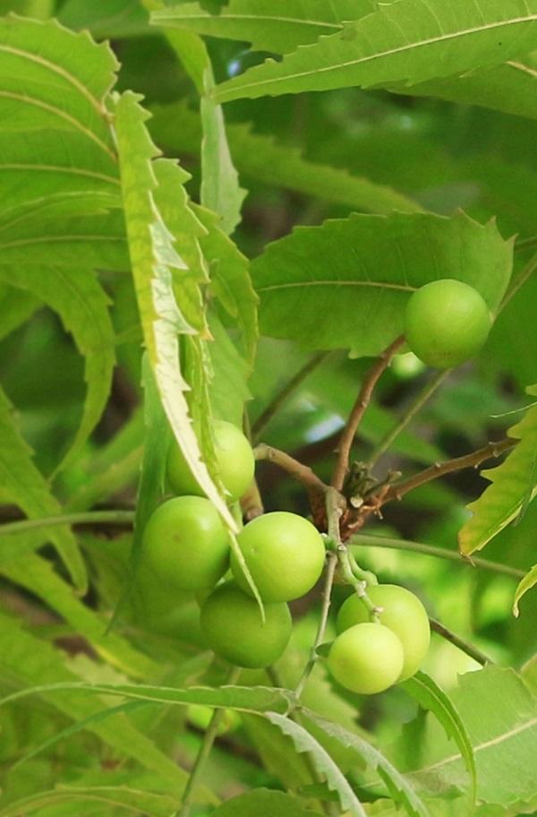 Olio per Capelli Neem Harmony - La Libellula Ecobio
