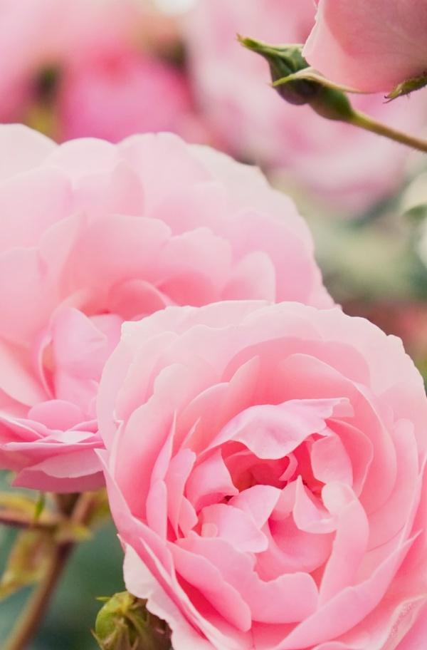 Olio per Capelli Rose Repair (4)